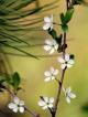 Цветка
